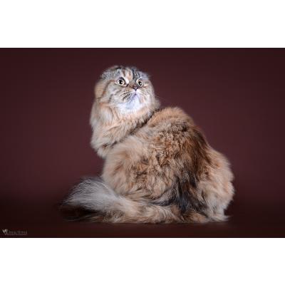 Škotų nulėpausių ir stačiaausių kačių veislynas Redera*LT
